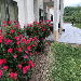 CWB Roses in Bloom